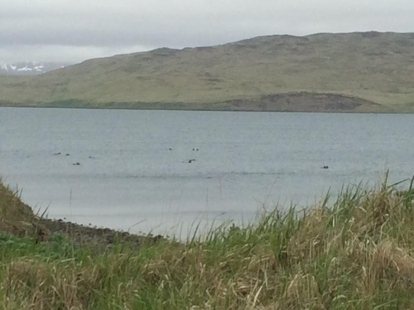 Pack of sea otters in Clam Lagoon