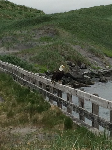 Eagle on Adak