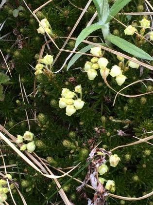 Empetrum nigrum (crowberry)