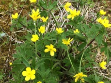 Creeping buttercup (Ranunculus repens) on Adak