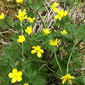 Creeping buttercup (Ranunculus repens) on Adak